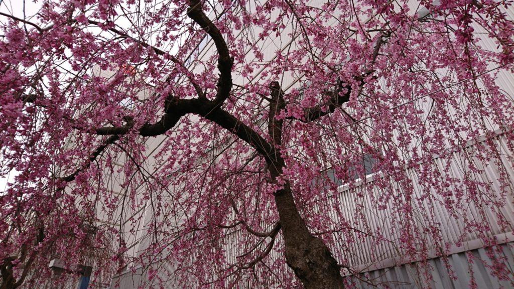 長野散策~桜を求めて編~③