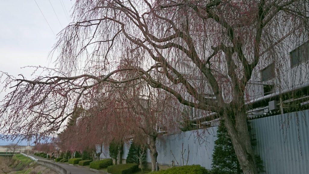 長野散策~桜を求めて編~②